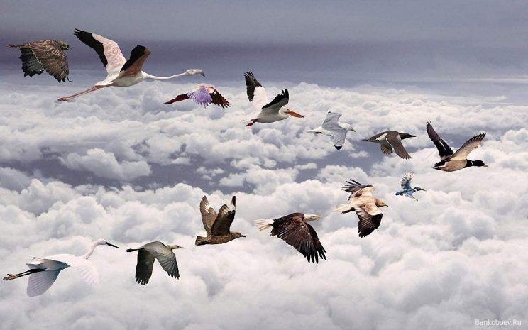 mixed-flock-of-birds-flying-in-a-v-formation-put-together-free-no-license-bankoboev-ru_staya_ptic_letit_na_yug